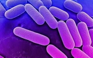 Цитобактерии в кишечнике
