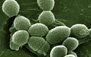 Бактерии enterococcus faecalis