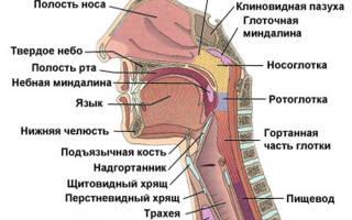 Что находится за языком в горле