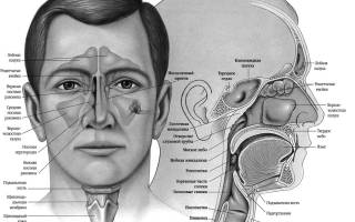 Строение носа и пазух человека