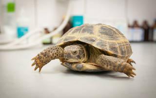 Пневмония у черепахи лечение в домашних условиях