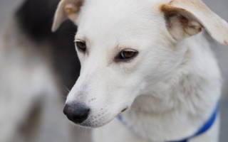 Кашель питомника у собак лечение