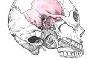 Сосцевидный отросток височной кости фото