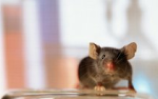Мышиный грипп википедия