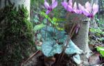 Цикломения цветок лечебные свойства