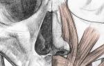 Как устроен нос человека внутри